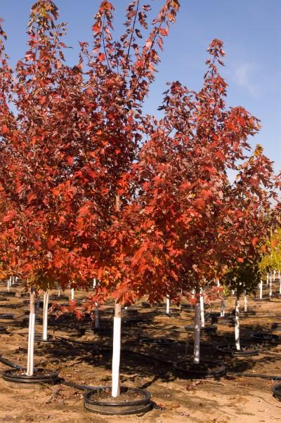 Maple Autumn Blaze Acer X Freemanii Jeffersred
