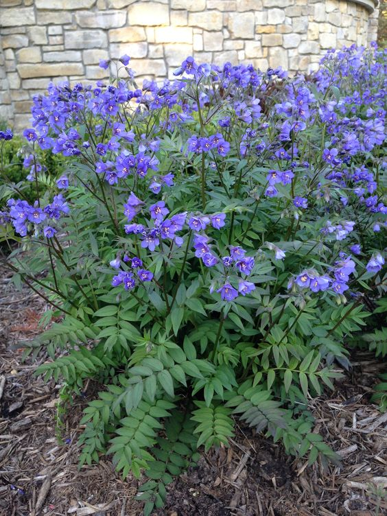 Jacob S Ladder Blue Master Polemonium Caeruleum Sp