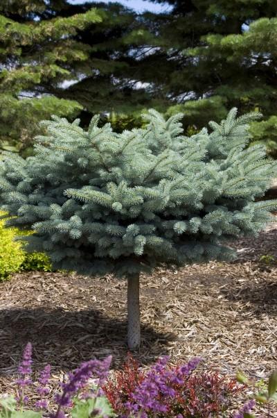 Spruce Blue Globe Tree Form Picea Pungens Glauca Globosa